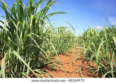 sugarcane farm - stock photo