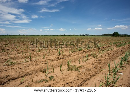 sugarcane farm with blue sky - stock photo