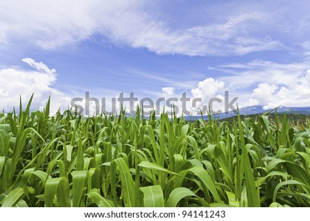 Sugarcane field in blue sky - stock photo