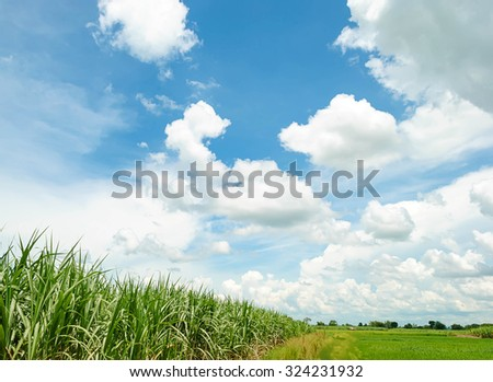 sugarcane field in blue sky and white cloud - stock photo