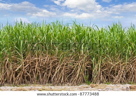 Sugarcane field in cloudy sky in Thailand - stock photo