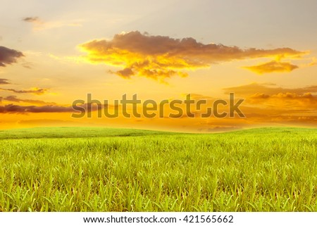 Sugarcane field with sky sunset for background - stock photo