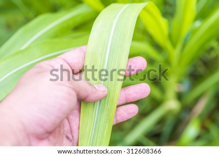 sugarcane leaves - stock photo