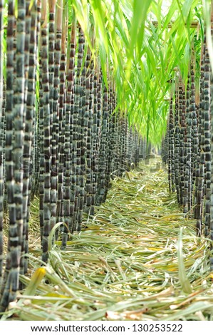 sugarcane plant grow at field - stock photo