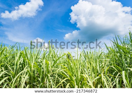 sugarcane plants grow in field