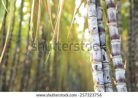 sugarcane plants in growth at field - stock photo