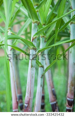 sugarcane plants in the field - stock photo