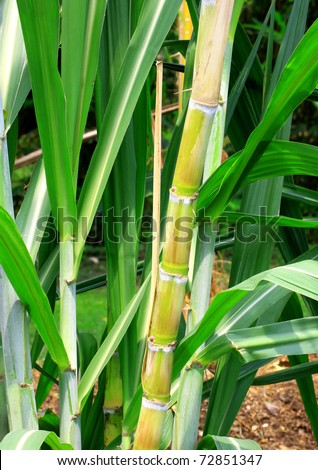sugarcane stems and leaves. - stock photo
