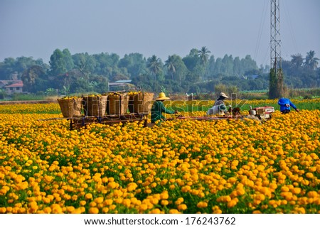 Suhkothai - February 1 : Unidentified workers are picking marigold flowers for sell to flower marget in Bangkok on  February 1,2014 in Sukhothai Thailand