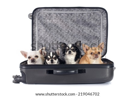 suitcase chihuahua in front of white background
