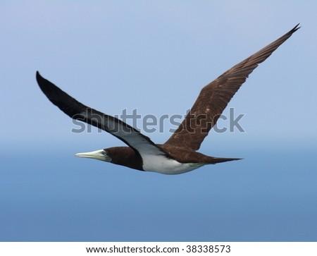 Sula leucogaster - stock photo