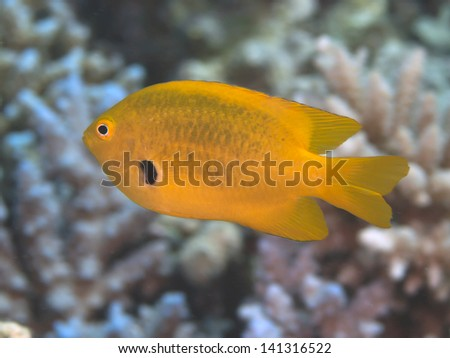 Sulfur damsel in red sea