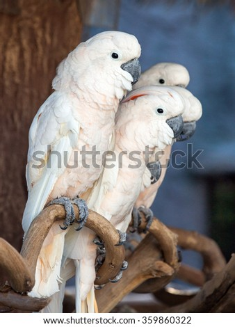 Sulphur-crested Cockatoo - stock photo
