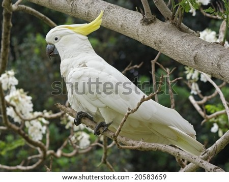 Sulphur-crested Cockatoo (Cacatua galerita) - stock photo