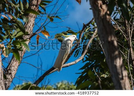 sulphur-crested cockatoo - fraser island, australia - stock photo