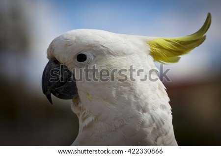 Sulphur-Crested Cockatoo in Australia. Close up head shot of the cockatoo showing its beak, yellow crest and white plumage. - stock photo