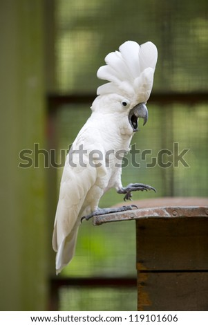 Sulphur-crested Cockatoo Parrot - stock photo