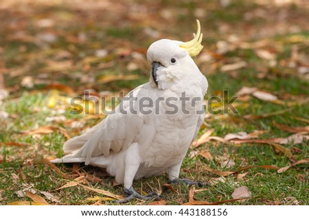 Sulphur crested Cockatoo Parrot in Sydney Park. Royal Botanic Gardens - stock photo