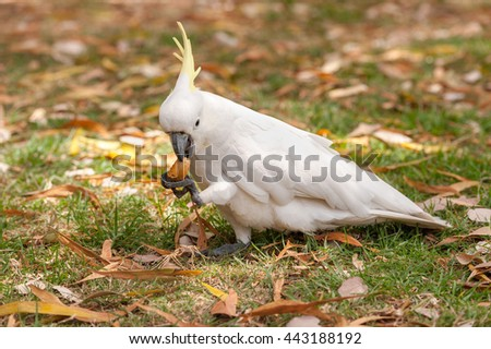 Sulphur crested Cockatoo Parrot in Sydney Park. Royal Botanic Gardens. Eating Food. Closeup - stock photo