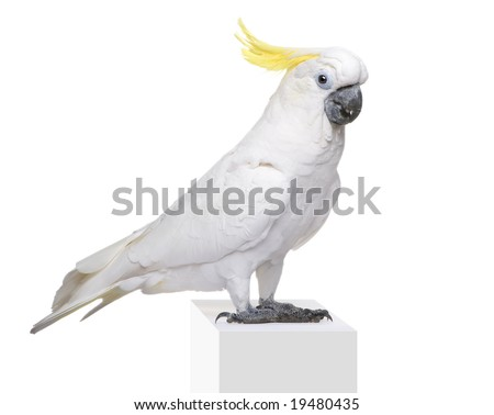 Sulphur-crested Cockatoo (22 years) - Cacatua galerita in front of a white background - stock photo