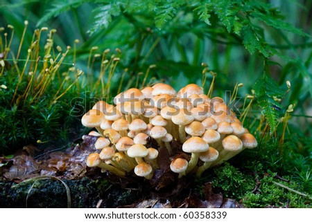Sulphur Tuft, also known as Clustered Woodlover, a poisonous mushroom. - stock photo