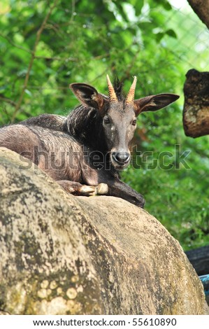Sumantran Serow A species of goat-antelope native to mountain forests in the Thai-Malay Peninsula and on the Indonesian island of Sumatra