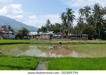 SUMATRA, INDONESIA - FEBRUARY 10, 2012: An unidentified farmer plants rice stalks onto a flooded paddy field in a village in Indonesia. Rice is a staple food in many parts of Asia including Indonesia. - stock photo