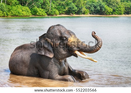 Sumatran elephant lying in sea with its trunk raised,  Bintan, Indonesia.