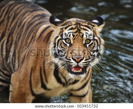 Sumatran tiger cub in the stream
