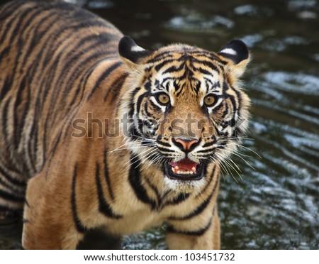 Sumatran tiger cub in the stream - stock photo