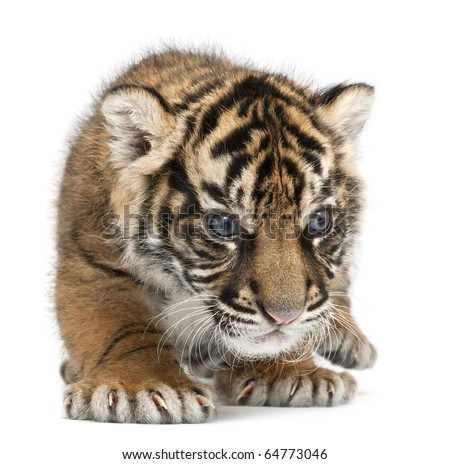 Sumatran Tiger cub, Panthera tigris sumatrae, 3 weeks old, in front of white background - stock photo