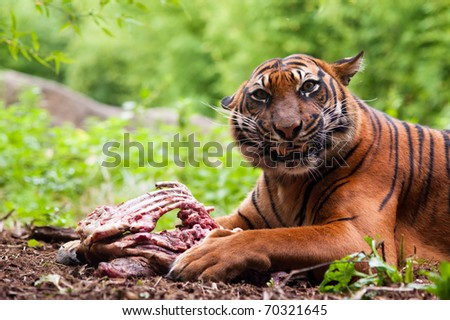 Sumatran tiger eating its prey on the forest floor - stock photo