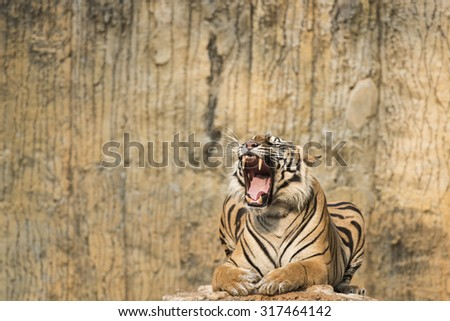 Sumatran Tiger in the afternoon - stock photo