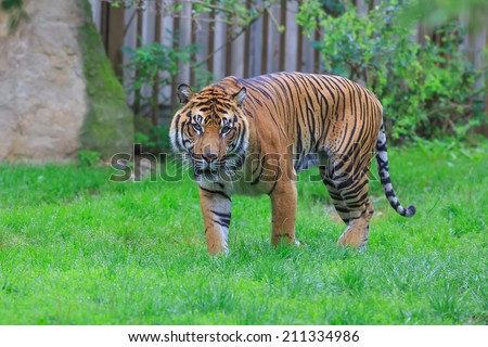 Sumatran tiger in ZOO - stock photo