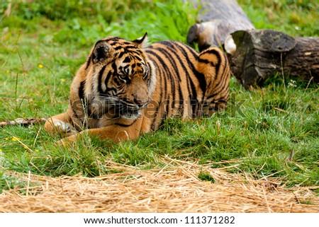 Sumatran Tiger Lying Down on the Grass Panthera Tigris Sumatrae - stock photo