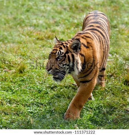 Sumatran Tiger Pacing Through Grass Panthera Tigris Sumatrae - stock photo