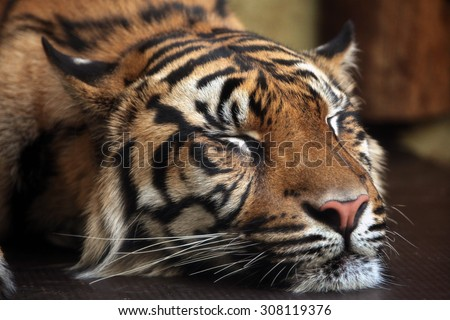 Sumatran tiger (Panthera tigris sumatrae). Wild life animal.  - stock photo