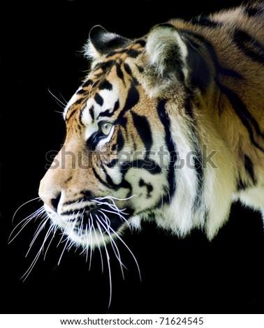Sumatran tiger profile on a black background - stock photo