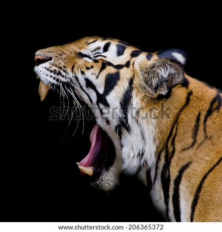 Tiger Roar Stock Images, Royalty-Free Images & Vectors ... - photo#49