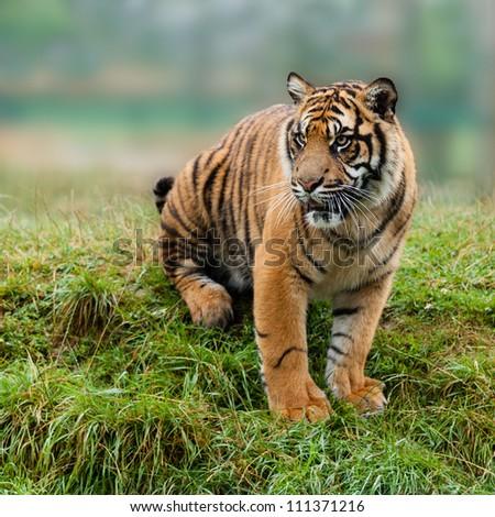 Sumatran Tiger Sitting on Grassy Bank Panthera Tigris Sumatrae - stock photo