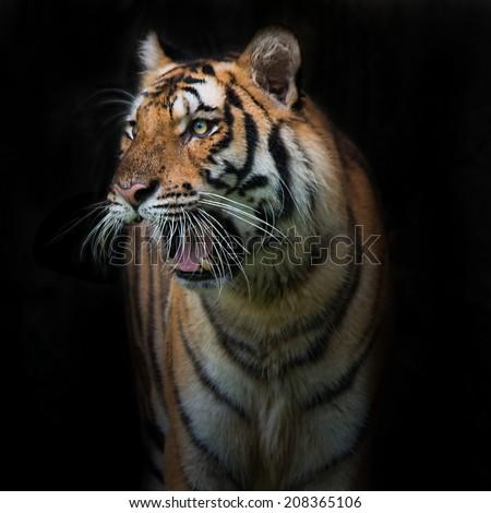 Sumatran Tiger staring victim on a rainy day. - stock photo