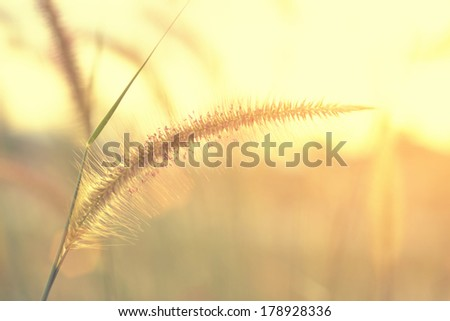 summer abstract nature background with grass flower and sunset in the back