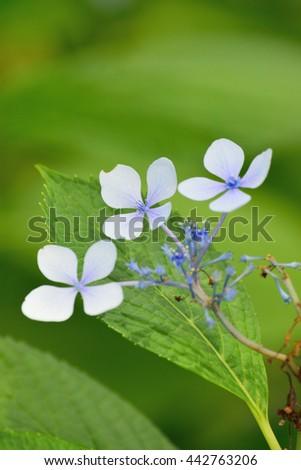 Summer Background - Blue Hydrangea flowers - stock photo