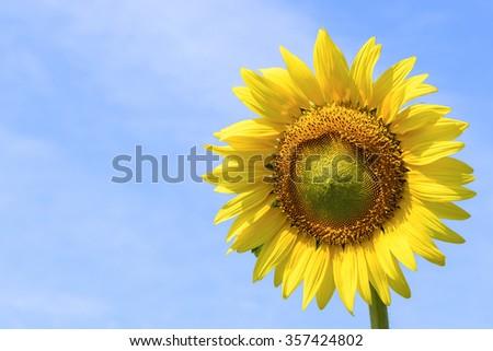 Summer background, bright yellow sunflower on blue sky - stock photo