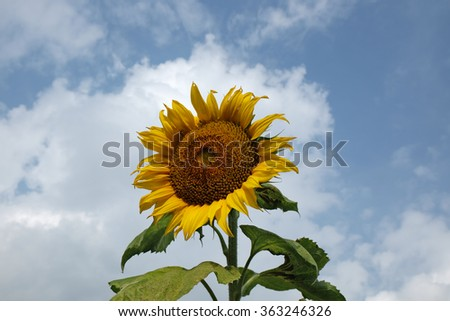Summer background, bright yellow sunflower over cloud and blue sky - stock photo