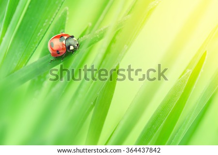Summer background. Ladybug on a blade of grass in the morning sun. - stock photo