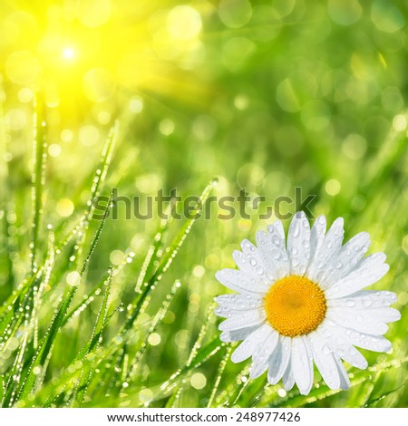 Summer background of green grass chamomile in the morning dew