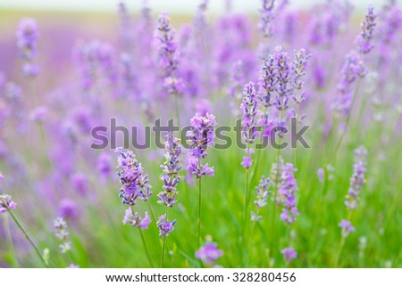 Summer background of lavender flowers. Selective focus.