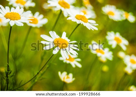 summer background. white daisies in green meadow