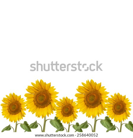 summer background with flowers of sunflower on a white background - stock photo